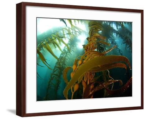 Chanthe View Underwater Off Anacapa Island of a Kelp Forest.-Ian Shive-Framed Art Print
