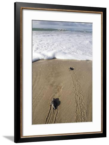 Sea Turtle Hatchlings Make their Way to the Sea-Adi Weda-Framed Art Print
