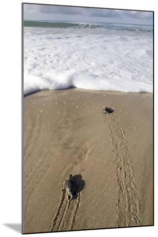 Sea Turtle Hatchlings Make their Way to the Sea-Adi Weda-Mounted Photographic Print