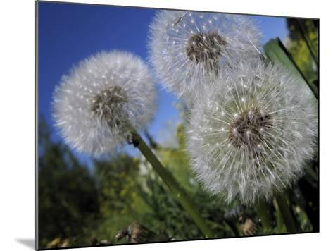 Dandelion Flowers Stand in a Lawn in Basel-Georgios Kefalas-Mounted Photographic Print