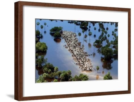 Cattle Gather on a Strip of Dry Land in Low-Lying Areas of the Bolivian Amazon-Martin Alipaz-Framed Art Print