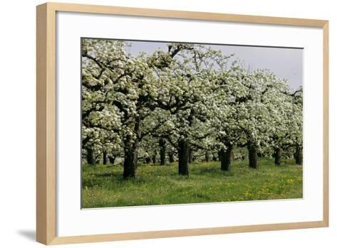 Pear Trees in Full Bloom in Zalasarszeg-Gyoergy Varga-Framed Art Print