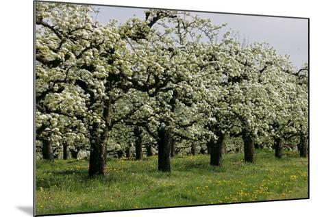 Pear Trees in Full Bloom in Zalasarszeg-Gyoergy Varga-Mounted Photographic Print