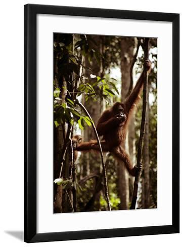 Orangutans in the Semenggoh Nature Reserve on the Island of Borneo in Malaysia-D. Scott Clark-Framed Art Print