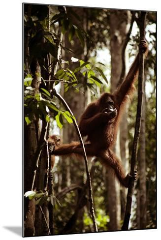 Orangutans in the Semenggoh Nature Reserve on the Island of Borneo in Malaysia-D. Scott Clark-Mounted Photographic Print
