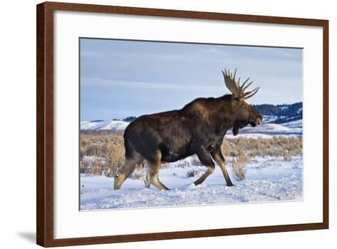 A Bull Moose Walks in a Snow-Covered Antelope Flats in Grand Teton National Park, Wyoming-Mike Cavaroc-Framed Art Print
