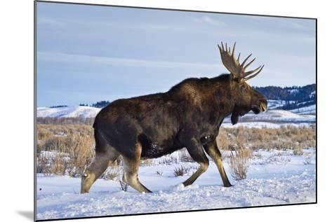 A Bull Moose Walks in a Snow-Covered Antelope Flats in Grand Teton National Park, Wyoming-Mike Cavaroc-Mounted Photographic Print