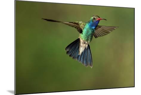A Hummingbird with its Wings Spread Open-Karine Aigner-Mounted Photographic Print