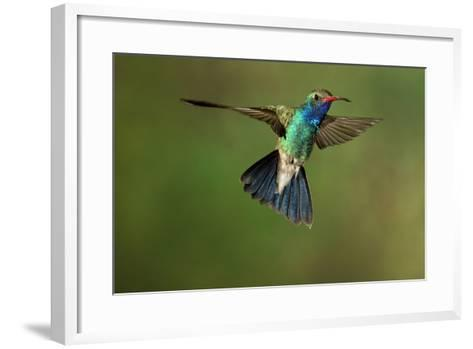 A Hummingbird with its Wings Spread Open-Karine Aigner-Framed Art Print