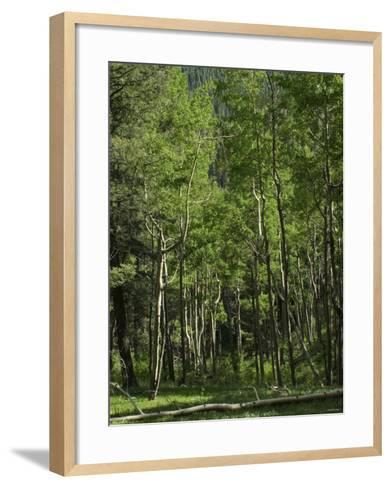 Aspen Forest in the Pecos Wilderness, Sangre De Cristo Mountains, New Mexico--Framed Art Print
