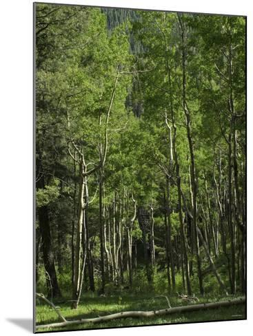 Aspen Forest in the Pecos Wilderness, Sangre De Cristo Mountains, New Mexico--Mounted Photographic Print