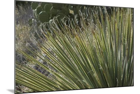 Narrow-Leaf Yucca in the Little Florida Mountains, New Mexico--Mounted Photographic Print