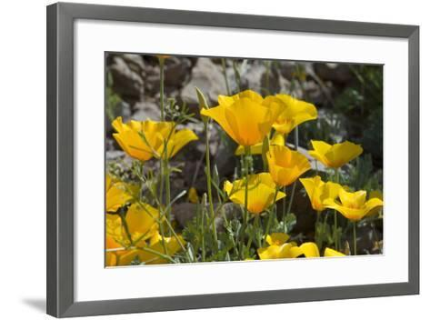 Mexican Poppies Blooming in the Little Florida Mountains, New Mexico--Framed Art Print