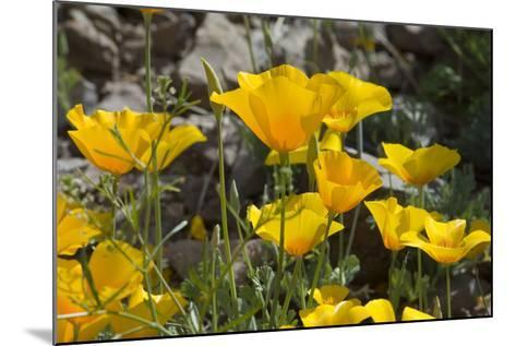 Mexican Poppies Blooming in the Little Florida Mountains, New Mexico--Mounted Photographic Print