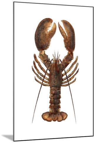 American Lobster, From a Specimen in Eastport, Maine, 1880s--Mounted Photographic Print