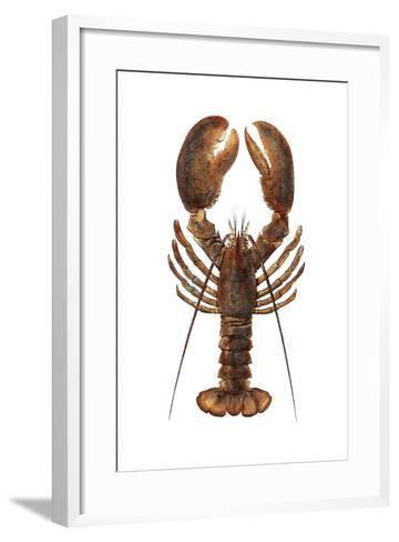 American Lobster, From a Specimen in Eastport, Maine, 1880s--Framed Art Print