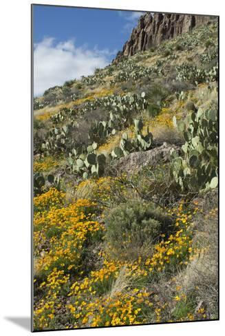 Mexican Poppies and Other Chihuahuan Desert Plants in the Little Florida Mountains, New Mexico--Mounted Photographic Print