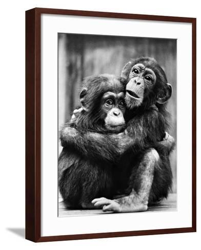 Young Chimpanzees--Framed Art Print