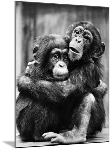 Young Chimpanzees--Mounted Photographic Print