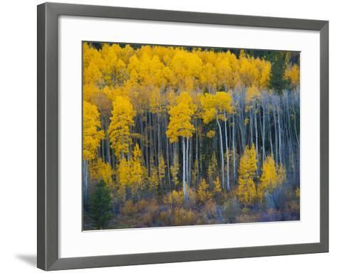 Autumn Vista with Yellow Aspens Along Cottonwood Pass, Rocky Mountains, Colorado,USA-Anna Miller-Framed Art Print