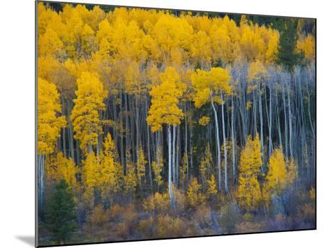 Autumn Vista with Yellow Aspens Along Cottonwood Pass, Rocky Mountains, Colorado,USA-Anna Miller-Mounted Photographic Print