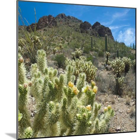 Teddybear Cholla Cactus in Arizona Desert Mountains-Anna Miller-Mounted Photographic Print