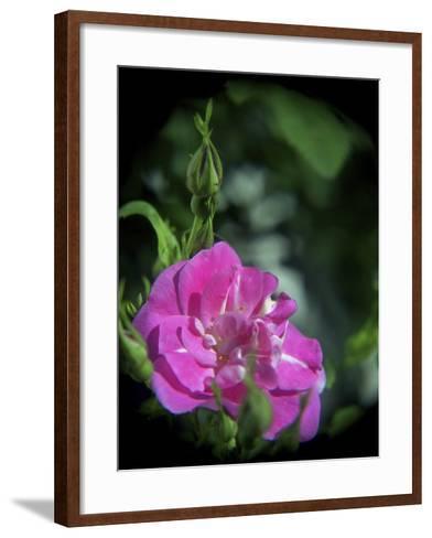 Pink Rose-Anna Miller-Framed Art Print