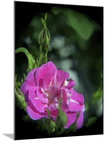 Pink Rose-Anna Miller-Mounted Photographic Print
