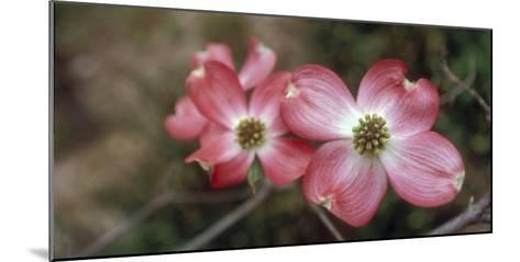 Pink Dogwood Blooms-Anna Miller-Mounted Photographic Print