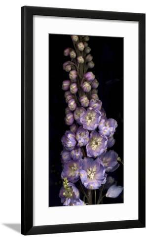 Delphinium on Black Background-Anna Miller-Framed Art Print