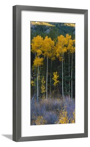 Autumn Aspens Along Cottonwood Pass, Rocky Mountains, Colorado,USA-Anna Miller-Framed Art Print