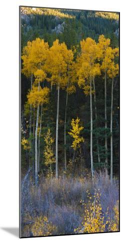 Autumn Aspens Along Cottonwood Pass, Rocky Mountains, Colorado,USA-Anna Miller-Mounted Photographic Print
