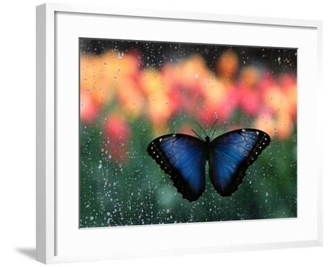 Butterfly in the White River Gardens, Indianapolis, Indiana, USA-Anna Miller-Framed Art Print