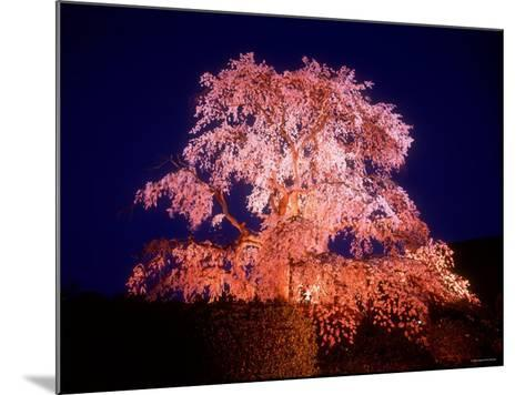 Cherry Blossoms by Night--Mounted Photographic Print