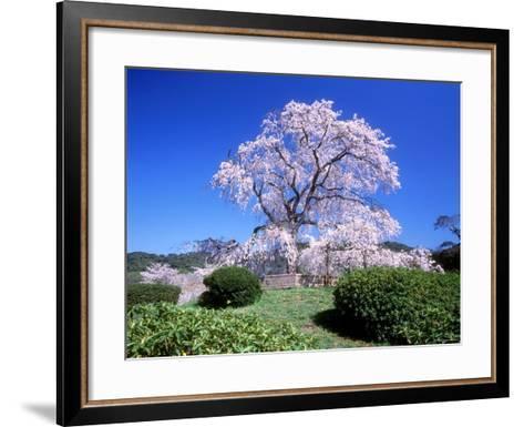 Weeping Cherry Tree--Framed Art Print