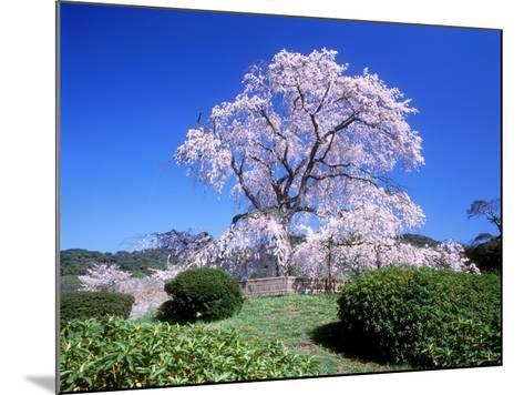 Weeping Cherry Tree--Mounted Photographic Print