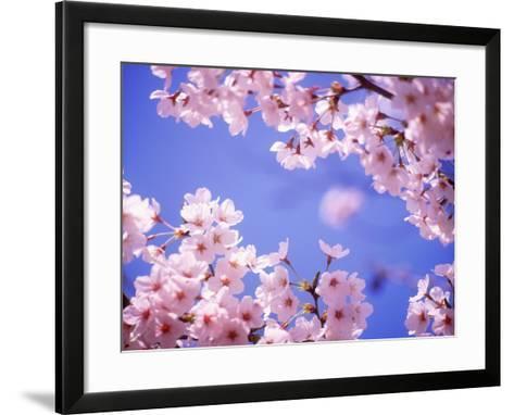 Cherry Blossoms and Blue Sky--Framed Art Print