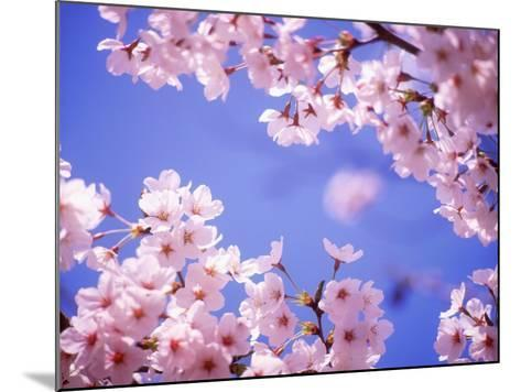 Cherry Blossoms and Blue Sky--Mounted Photographic Print