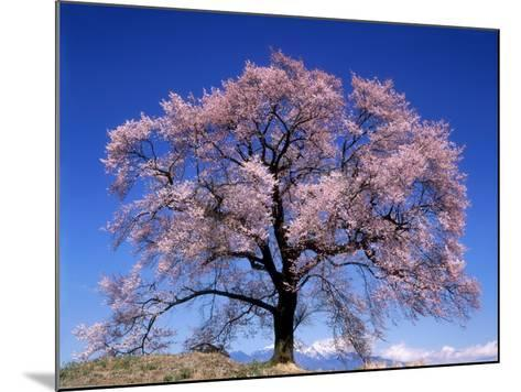 Cherry Blossoms and Mt. Yastu--Mounted Photographic Print