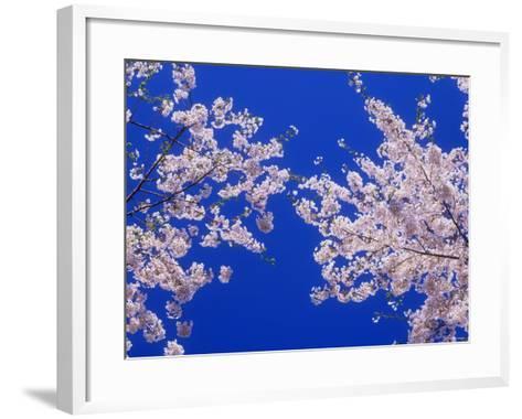 Cherry Blossoms--Framed Art Print
