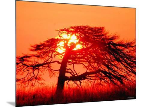 A Pine Tree and Sunrise--Mounted Photographic Print