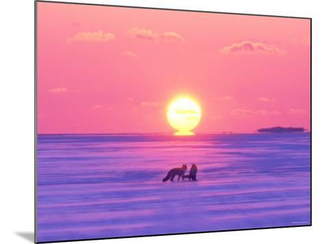 Pair of Fox in Winter Morning--Mounted Photographic Print