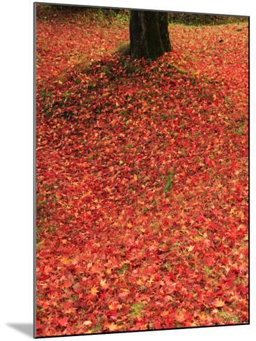 Fallen Maple Leaves--Mounted Photographic Print