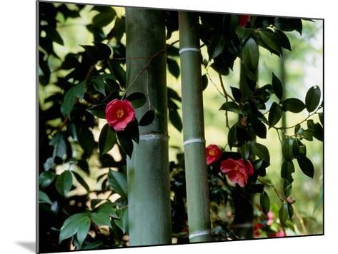 Camellia and Bamboo--Mounted Photographic Print