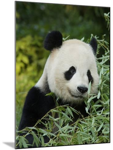 National Zoological Park: Giant Panda--Mounted Photographic Print