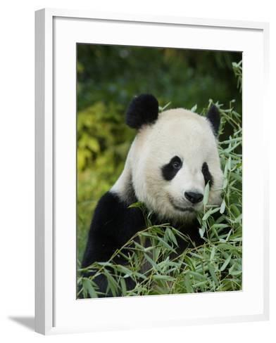 National Zoological Park: Giant Panda--Framed Art Print