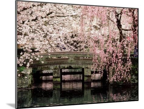 Cherry Blossoms, Mishima Taisha Shrine, Shizuoka--Mounted Photographic Print