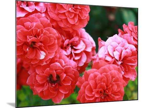 Roses 1-Ryuji Adachi-Mounted Photographic Print