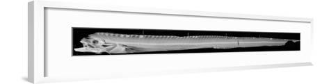 Channel Scabbardfish-Sandra J^ Raredon-Framed Art Print