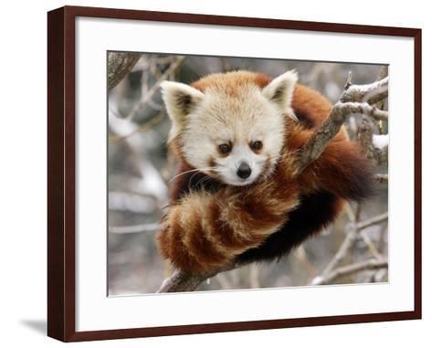 National Zoological Park: Red Panda--Framed Art Print